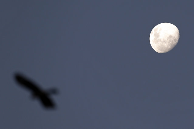 A bird flies over the National Stadium as the moon shines in the evening sky in Santiago, Chile, Sunday, June 28, 2015. (Photo by Luis Hidalgo/AP Photo)