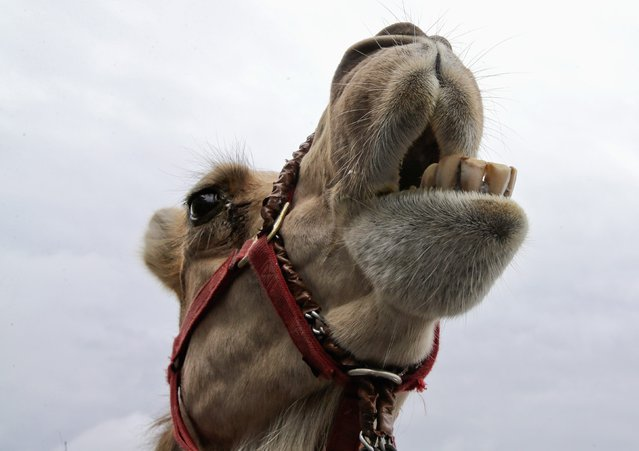 """A camel reacts after arriving from Kansas for an exhibition race billed as """"The Cameltonian"""", at the Meadowlands Race Track in East Rutherford, New Jersey, June 19, 2014. Run by Hedrick's Promotions in Nickerson, Kansas, this is the third year the race has been run at the track, in tandem with an ostrich race. (Photo by Ray Stubblebine/Reuters)"""