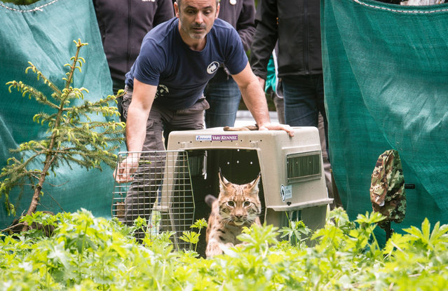 A member of the Athenas centre opens a cage to release a lynx into the wild, on May 31, 2016 in L'etoile, eastern France. Two one-year-old lynx were released in the massif du Jura, on May 31 and June 1, 2016. (Photo by Sebastien Bozon/AFP Photo)
