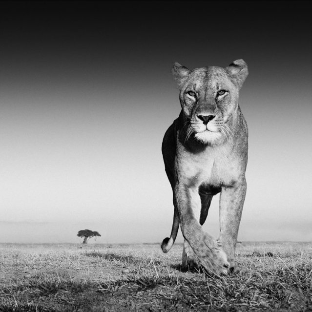 Undated David Yarrow handout photo of a lioness, as the self-taught wildlife photographer promotes his book, Encounter. (Photo by David Yarrow/Clearview/PA Wire)