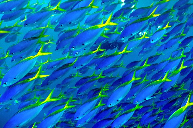 Blue and yellow snapper fish seen in moving vast schools along the reef in Fiji. (Photo by Ron & Valerie Taylor/Ardea/Caters News)