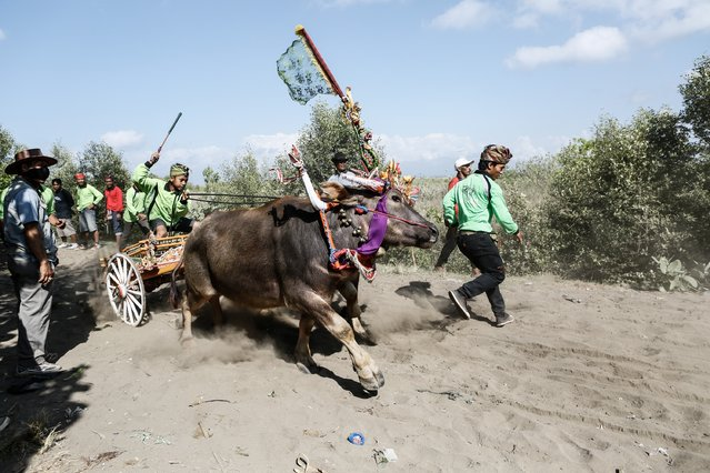 "A contestant starts the race during ""Mekepung"" traditional water buffalo race on August 3, 2014 near Negara, Bali, Indonesia. (Photo by Putu Sayoga/Getty Images)"