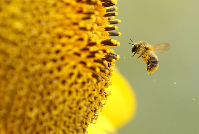A bee collects pollen from a sunflower on September 6, 2012 in Neufeld, Germany. (Photo by Roland Weirauch/AFP)