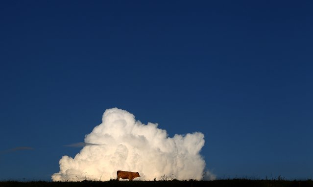 A calf silhouettes against cumulus clouds appearing in the sky behind a meadow in Echerschwang, southern Germany, on September 8, 2014. (Photo by Karl-Josef Hildenbrand/AFP Photo)