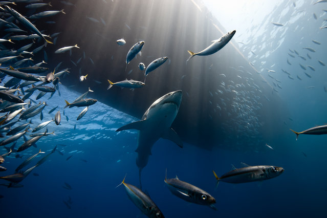 """The Lord of The Ocean"". Off the coast of Guadalupe Island, great white sharks gather to feed on sea lions. It is an ideal place to observe these majestic animals in their natural state. Far ideas through Hollywood movies, the great white shark remains fearful of man and does not leave easily approached. Photo location: Guadalupe Island, Mexico. (Photo and caption by Marc Henauer/National Geographic Photo Contest)"