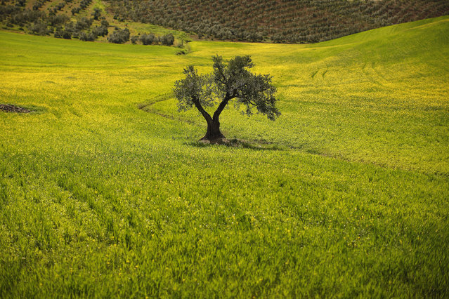 A olive tree is seen in a field in the outskirts of Ronda, near Malaga, April 9, 2014. (Photo by Jon Nazca/Reuters)