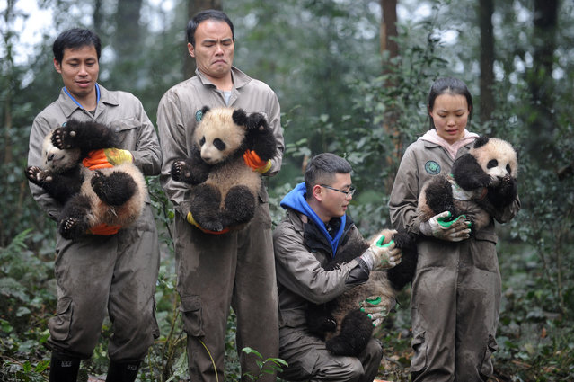 Researchers hold giant panda cubs during an event to celebrate China's Lunar New Year in a research base in Ya'an, Sichuan province, China January 11, 2017. (Photo by Reuters/China Daily)
