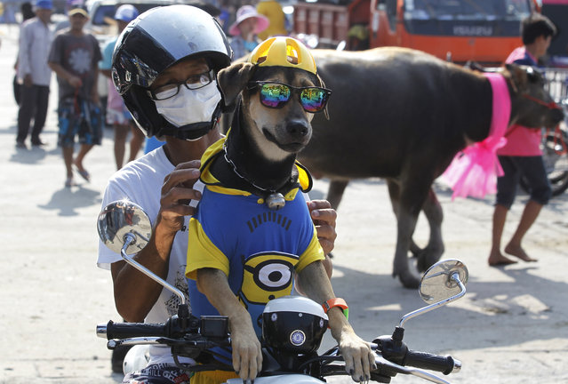 A Thai and his dog sit on his motorcycle watching the water buffalo race in Chonburi Province south of Bangkok, Thailand, Monday, October 26, 2015. The annual race is a celebration among rice farmers before harvest. (Photo by Sakchai Lalit/AP Photo)