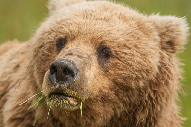 A close up of a grizzly bear in Alaska, United States, on July 5, 2013. (Photo by Graham McGeorge/Barcroft Media)