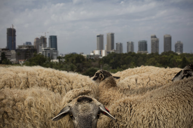 A small flock of sheep graze in a field overlooking Tel Aviv as part of a project to bring back the nature to the city like it use to be, in Tel Aviv, Israel, Monday, May 28, 2018. (Photo by Oded Balilty/AP Photo)