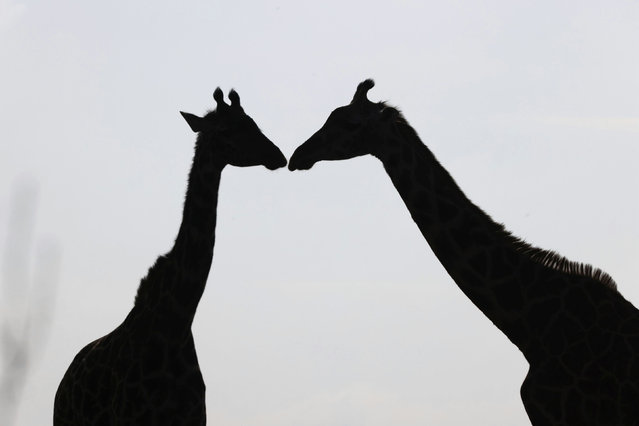 Giraffes stand next to each other inside the Nairobi National Park, Kenya, January 6, 2021. (Photo by Baz Ratner/Reuters)