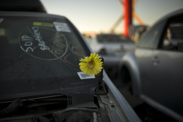 In this Wednesday, November 11, 2015 photo, an artificial flower adorns a junk car at Aadlen Brothers Auto Wrecking, also known as U Pick Parts, in the Sun Valley section of Los Angeles. (Photo by Jae C. Hong/AP Photo)
