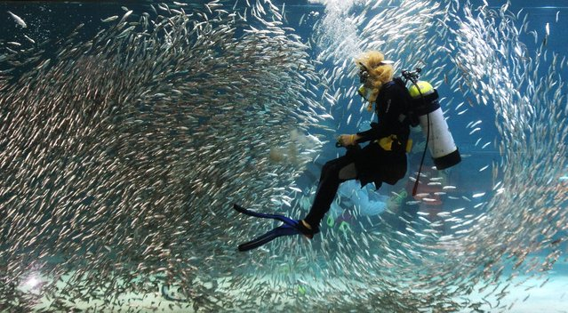 A diver performs with sardines as part of summer vacation events at an Coex Aquarium in Seoul, South Korea, Wednesday, July 31, 2013. (Photo by Ahn Young-joon/AP Photo)