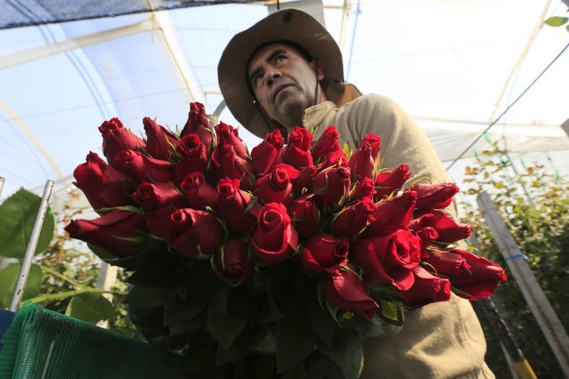 A Colombian flower grower picks up roses ahead of Valentine's Day in Facatativa, January 29, 2015. (Photo by John Vizcaino/Reuters)
