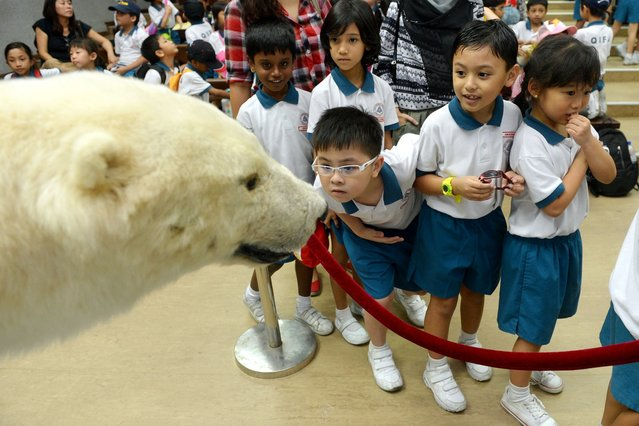 Primary 1 students from Qifa Primary School looking at Sheba the polar bear, which has been stuffed and and is now used for education talks for students visiting the Singapore Zoo, on October 1, 2013. (Photo by Caroline Chia)