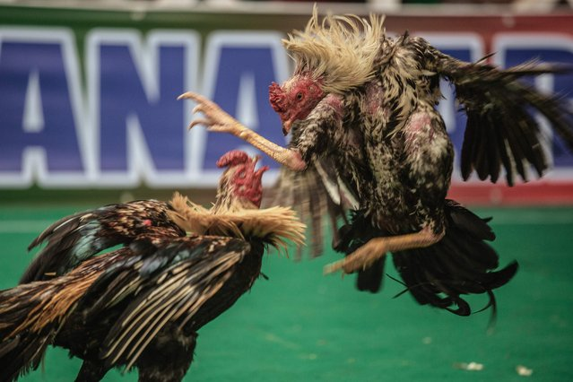 Cocks fight during a Cock fighting tournament on December 3, 2016 on the outskirts of Antananarivo. (Photo by Gianluigi Guercia/AFP Photo)