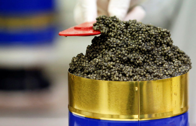 """Employees prepare cleaned and processed caviar at the caviar fish farming company """"Sturgeon"""", the leading French producer, in Saint-Genis-de-Saintonge, France, November 8, 2016. (Photo by Regis Duvignau/Reuters)"""