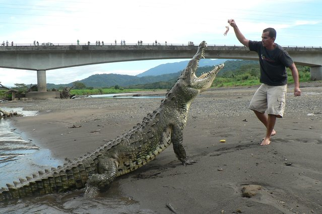 A tour guide dangles a piece of meat above the open jaws of a crocodile on the banks of the Tarcoles river in Tarcoles, Costa Rica. (Photo and caption by Barcroft Media)