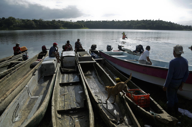 In this photo November 25, 2018 photo, fishing canoes are tied together at a dock on Lake Bayano as the men watch the dugout canoe race of the second edition of the Panamanian indigenous games on lake Bayano, Panama. Indigenous people fish and motor in the lake on any given day, transporting goods from one side to the other. (Photo by Arnulfo Franco/AP Photo)