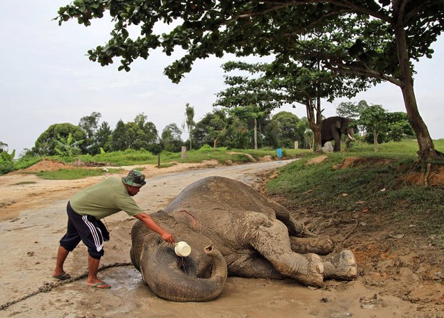 An elephant trainer gives water to a wild Sumatran elephant that has not fully recovered after being tranquilized during its relocation from a populated area in the nearby town to a conservation center in Minas, Riau province, Indonesia, Monday, December 30, 2013. (Photo by Rony Muharrman/AP Photo)