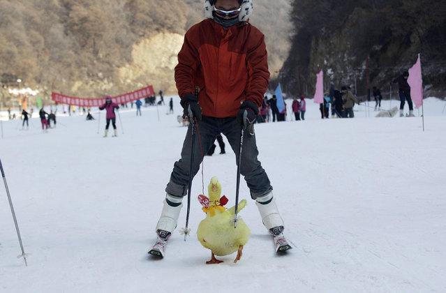 A contestant skis with his pet duck during a skiing with pets competition at a ski resort in Sanmenxia, Henan province, China January 12, 2014. (Photo by Reuters/China Daily)
