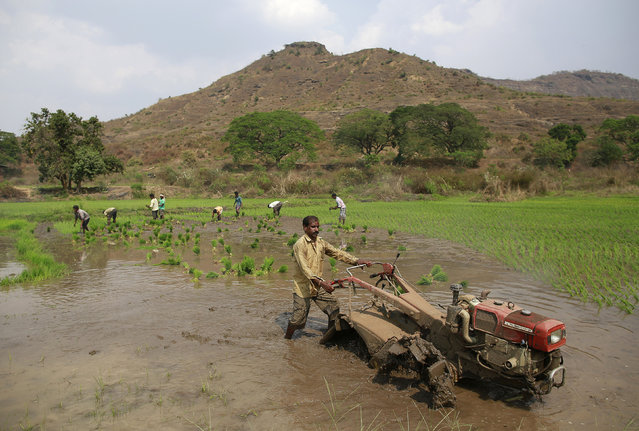 A farmer ploughs as others plant rice saplings in a paddy field in Karjat, India, March 1, 2016. India unveiled a fire-fighting budget on Monday that seeks to win back support among rural voters for Prime Minister Narendra Modi's government and sustain growth against a grim global backdrop – all without borrowing more. (Photo by Danish Siddiqui/Reuters)