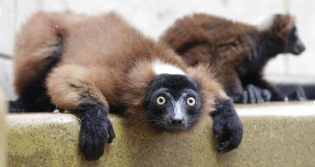 A newborn red vari lemur is by his mother at the Zoo in Wuppertal, Germany, Thursday, July 12, 2012. The lemurs originate from Madagascar and its the first time babies have been born. Picture taken through glass pane. (Photo by Frank Augstein/AP Photo)