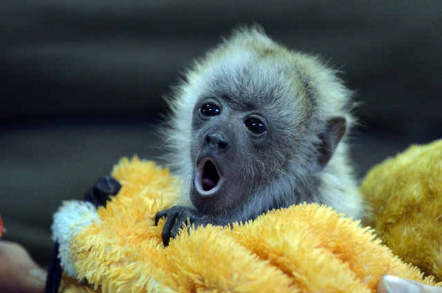 A zoo keeper holds a howler monkey baby during a press presentation in the zoo of Szeged, Hungary on August 14, 2013. (Photo by Csaba Segesvari/AFP Photo)