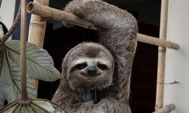 """A sloth (Bradypus tridactylus) called """"Chuwie"""", who lost the claws of three of his four legs when he was electrocuted on power lines and rescued after suffering serious burns, remains hanging while being feed at Chuwie's Sloth Rescue Center in San Antonio de Los Altos, Miranda state, Venezuela on September 23, 2021. """"Chuwie"""" is the face of a sloth rescue foundation set up by a couple who became passionate about the species by rescuing him and dozens of others. (Photo by Yuri Cortez/AFP Photo)"""
