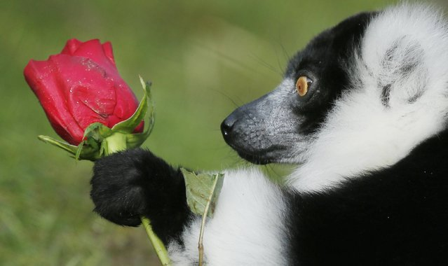 Black and White Ruffed Lemur Ziggy is pictured with a Valentine's Day rose  at Blair Drummond Safari Park in Scotland, on February 13 , 2014. (Photo by Danny Lawson/PA Wire)
