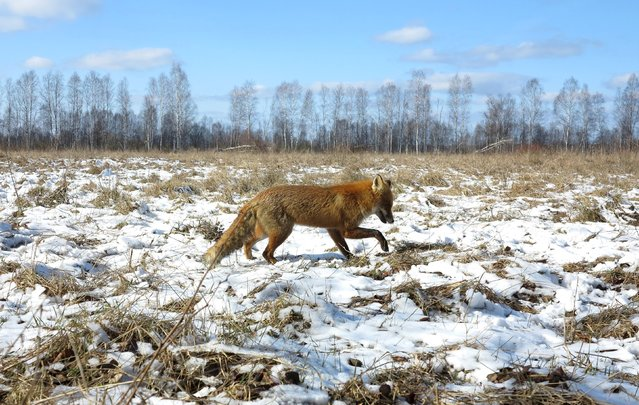 A fox walks through the 30 km (19 miles) exclusion zone around the Chernobyl nuclear reactor near the abandoned village of Babchin, Belarus, March 5, 2016. (Photo by Vasily Fedosenko/Reuters)