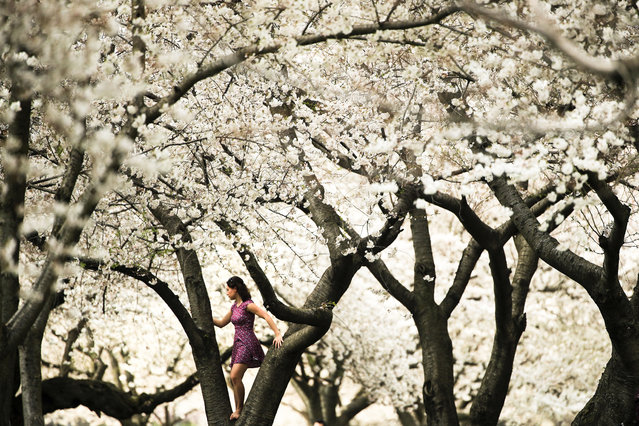 A woman climbs on the bough of a tree blooming with flowers on a spring afternoon along Kelly Drive in Philadelphia, Monday, April 8, 2019. (Photo by Matt Rourke/AP Photo)