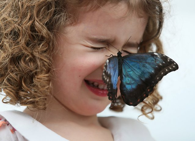 Callie Jones shuts her eyes as a large blue Morpho butterfly rests on her face during a media call for a butterfly exhibition in a temporary venue outside the Natural History Museum Monday, March, 31, 2014. (Photo by Alastair Grant/AP Photo)