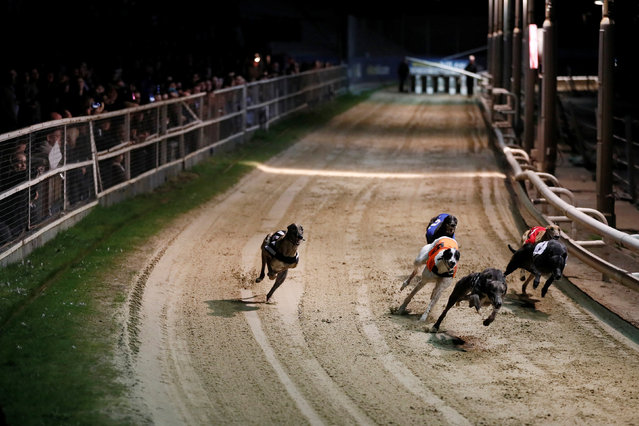 Greyhounds compete during a race at Wimbledon Stadium in London, March 18, 2017. (Photo by Stefan Wermuth/Reuters)