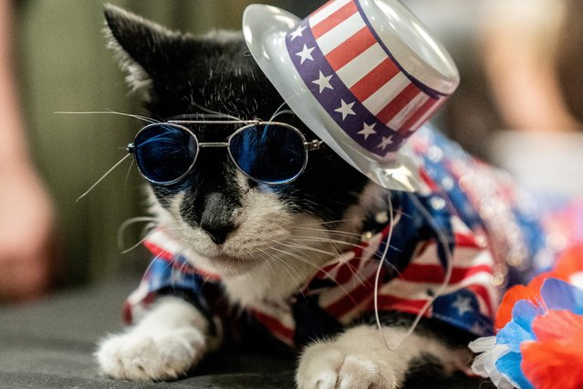 Balboo wears a patriotic flag hat at backstage before the Algonquin Hotel's Annual Cat Fashion Show in the Manhattan borough of New York City, New York, U.S., August 1, 2019. (Photo by Jeenah Moon/Reuters)