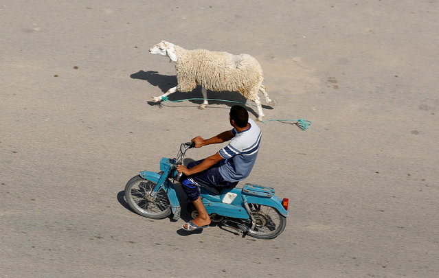 A man rides a motorcycle as he chases down a sheep that has run away in Mdhilla, southwestern Tunisia on August 11, 2018. (Photo by Zoubeir Souissi/Reuters)