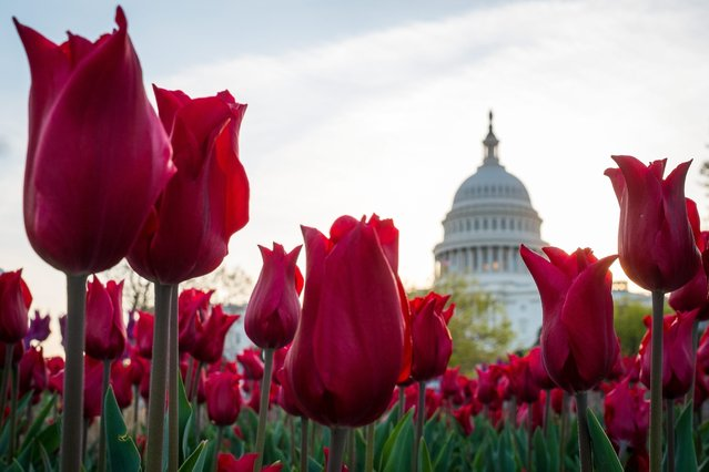 Tulips bloom in front of the Capitol in Washington, Tuesday, April 22, 2014. The annual burst of color around the Nation's Capital is a sure sign that spring has finally arrived. (Photo by J. David Ake/AP Photo)
