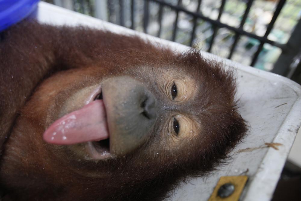 Indonesia Orangutans