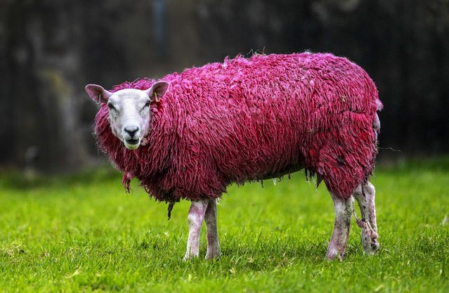 A pink sheep stands in a field in Ballintoy, Northern Ireland, on May 6, 2014, for the Giro d'Italia bicycle race, which has three stages in Ireland running from May 9-11. (Photo by Peter Morrison/Associated Press)