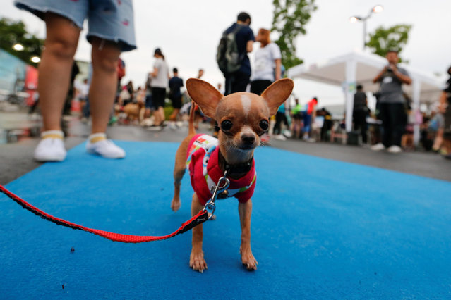 A pet gets ready to run a mini-marathon for dogs in Bangkok, Thailand May 7, 2017. (Photo by Jorge Silva/Reuters)