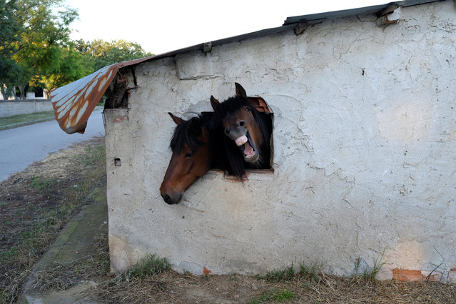Horses look out a window of their stable near the village of Pontoiraklia, Greece, May 27, 2016. (Photo by Marko Djurica/Reuters)