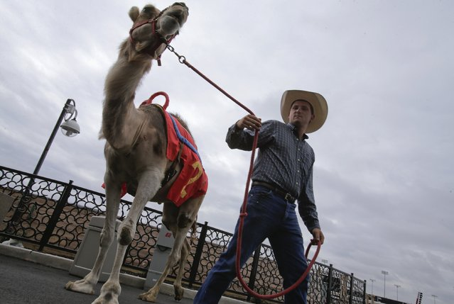 """Handler Kris Anderson leads a camel away following a meeting with the media, after arriving from Kansas for an exhibition race billed as """"The Cameltonian"""" at the Meadowlands Race Track in East Rutherford, New Jersey, June 19, 2014. Run by Hedrick's Promotions in Nickerson, Kansas, this is the third year the race has been run at the track, in tandem with an ostrich race. (Photo by Ray Stubblebine/Reuters)"""