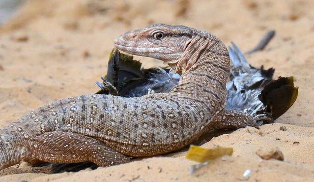 A monitor lizard kills a bird at Jhalana nature park, Rajasthan, India on June 6, 2016. (Photo by Vishal Bhatnagar/Barcroft Images)