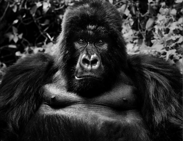 Undated David Yarrow handout photo of a razorback gorilla, as the self-taught wildlife photographer promotes his book, Encounter. (Photo by David Yarrow/Clearview/PA Wire)