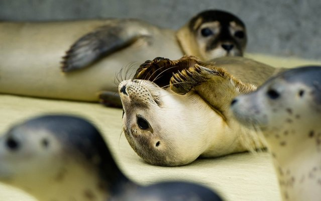 Young seals play in the outdoor pools at the Friedrichskoog Station in Friedrichskoog, Germany, August 7, 2014. (Photo by Daniel Bockwoldt/AFP Photo/DPA)