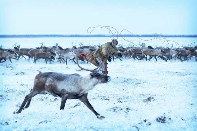 This is Maxim, lassoing a reindeer in order to harness it up to pull a sledge in Siberia, December 2016. (Photo by Timothy Allen/Barcroft Productions)