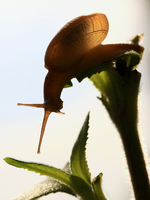 A snail is pictured at a garden in Kathmandu, Nepal, on September 8, 2012. (Photo by Prakash Mathema/AFP)