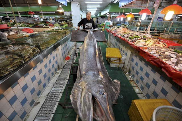 A seafood vendor moves a giant swordfish to his stall at a market in Qingdao, Shandong province, China, September 12, 2015. (Photo by Reuters/Stringer)