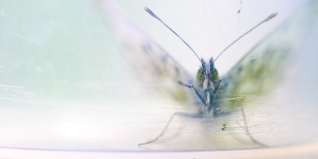 The art of ecology student winner: Sanne Govaert. A butterfly in a used transparent container. (Photo by Sanne Govaert/Ghent University/British Ecological Society)