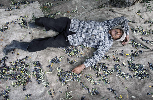 A villager rests while harvesting olives in Anqoun town, south Lebanon October 19, 2014. (Photo by Ali Hashisho/Reuters)